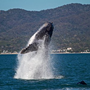 whale-watching-season-in-puerto-vallarta